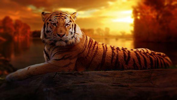 Обои Тигр лежит у бревна на фоне заката