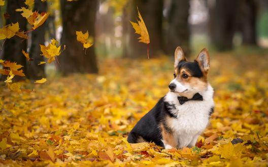 Обои Собака породы вельш-корги, с бабочкой на шее, сидит на аллее усыпанной осенними листьями