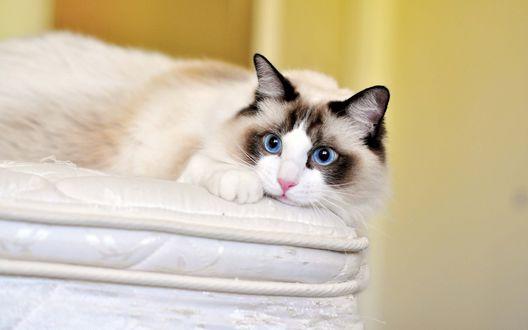 Обои Кошка с голубыми глазами породы рэгдолл лежит на краю матраса