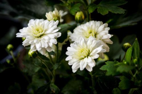 Обои Белые хризантемы, by Ashen