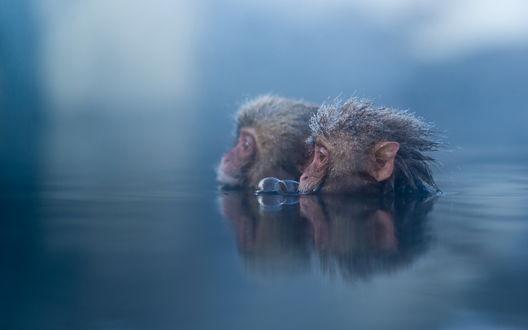 Обои Две макаки греются в горячем источнике, by Ben Torode