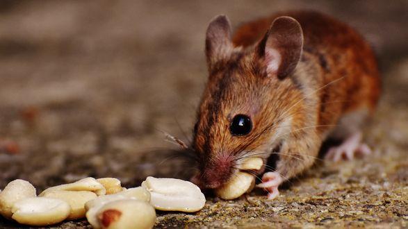 Обои Мышка ест орехи на земле