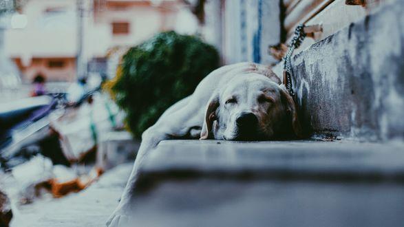 Обои Собака спит на лестнице