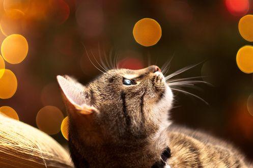 Обои Полосатый кот смотрит вверх