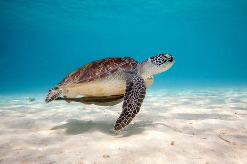 Обои Морская черепаха плывет на дне моря