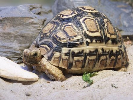 Обои Большая черепаха сидит на песке рядом с камнями