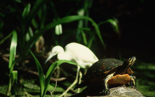 Обои Пятнистая черепаха вытянула шею, сидя на камне, позади нее притаилась цапля
