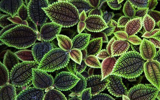 Обои Красно-зеленые листья растения
