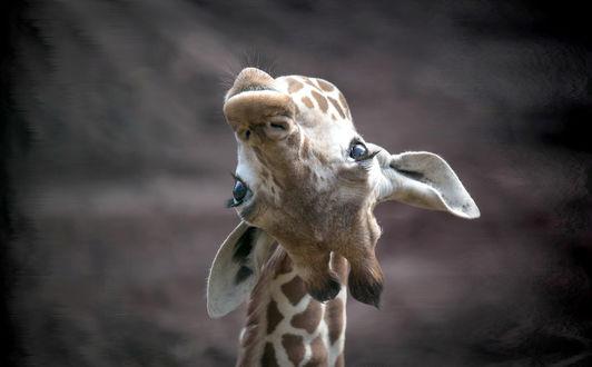 Обои Жираф смотрит в обьектив, перевернув голову
