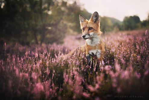 Обои Лиса на цветочном поле, фотограф Grzegorz Bukalski