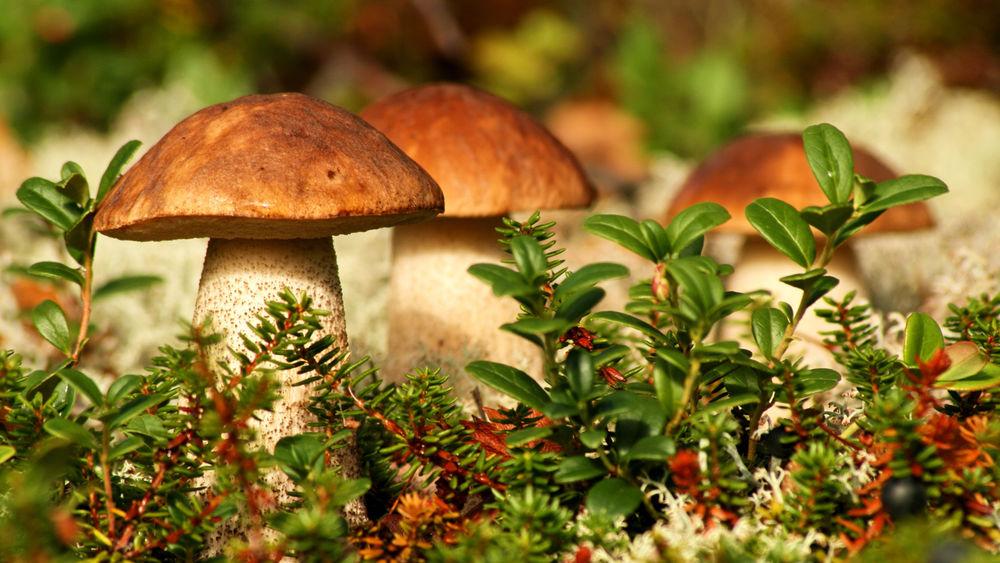 Обои для рабочего стола Семейка грибов в осеннем лесу на размытом фоне