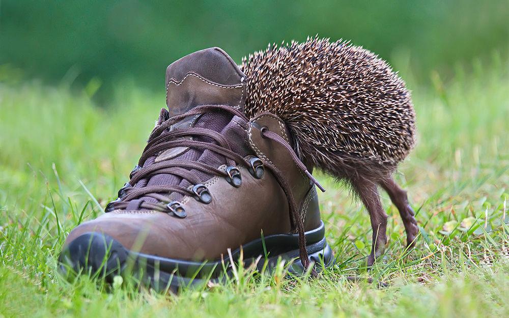 Обои для рабочего стола Ёжик, стоя на задних лапках, заглядывает в ботинок, стоящий на зеленой траве, фотограф Елена Соловьева