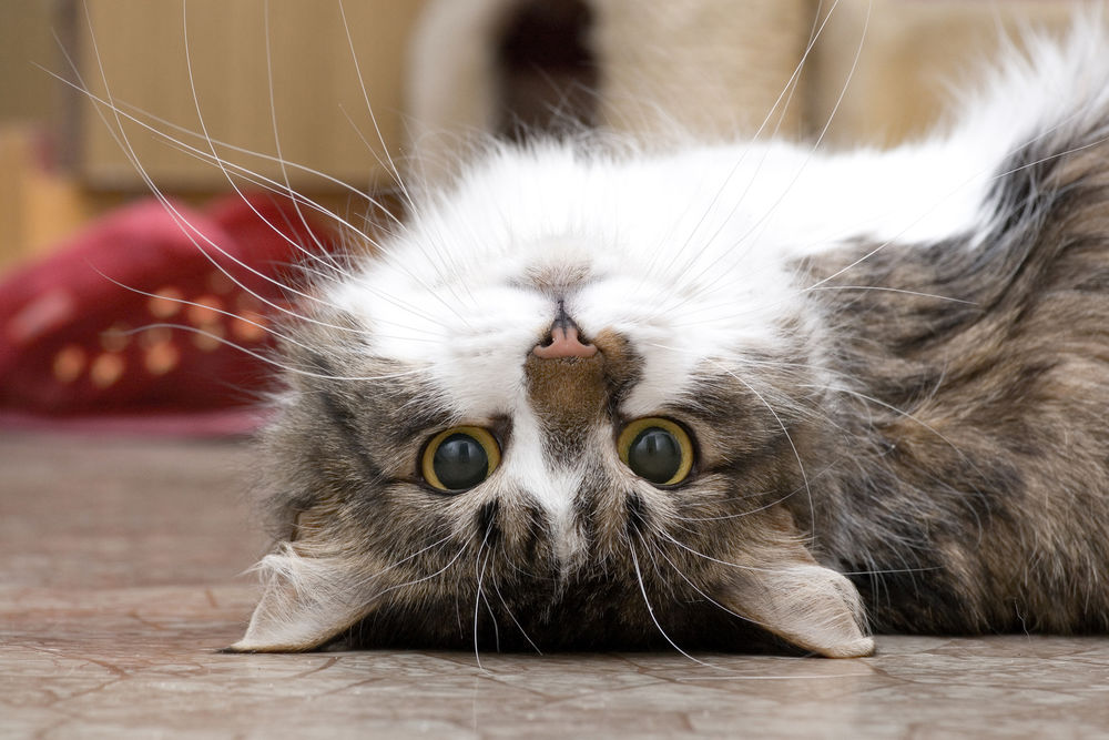 Кот вверх ногами