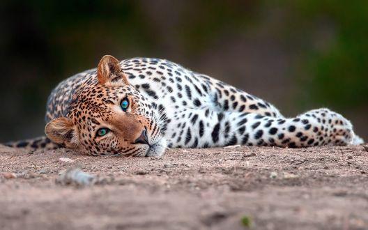 Обои Леопард с красивыми зелеными глазами лежит на земле