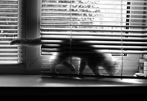Обои Кошка на окне залезла за жалюзи, by Lady Wilmor
