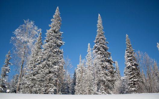 Обои Высокие заснеженные ели на фоне голубого неба