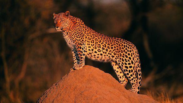 Обои Леопард стоит на возвышенности