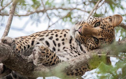 Обои Леопард лежит на ветке дерева