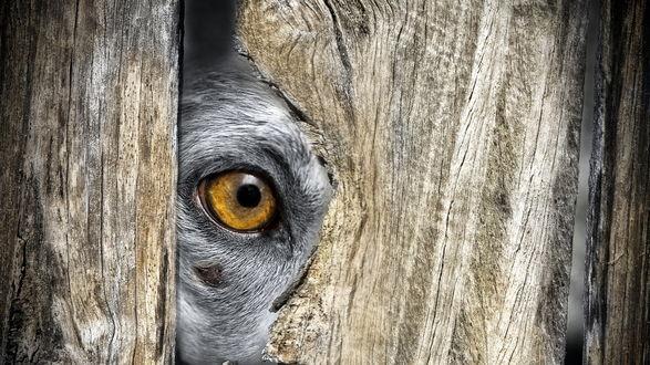 Обои Желтый глаз пса, смотрящего через щель в заборе
