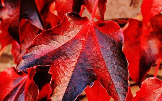 Обои Красные осенние листья