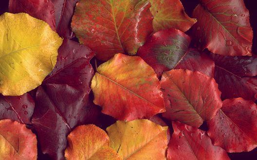 Обои Красные и желтые осенние листья в каплях воды