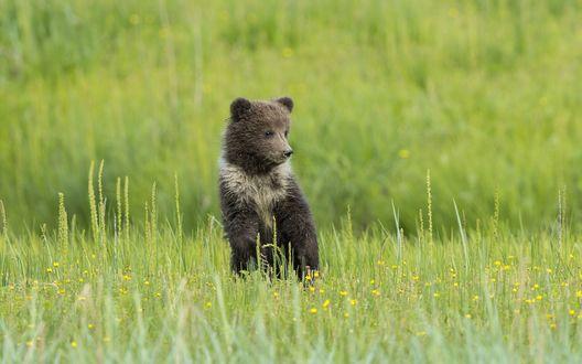 Обои Медвежонок на цветочной поляне