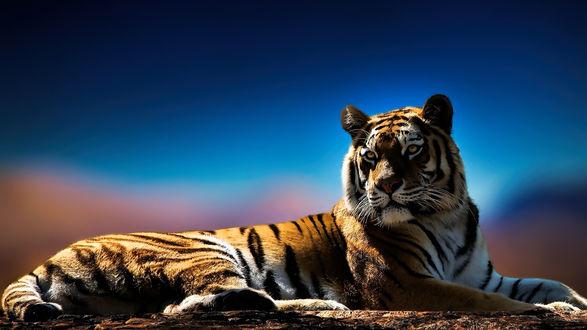Обои Красивый тигр отдыхает