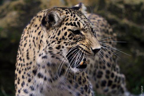 Обои Леопард в профиль, by FranSight
