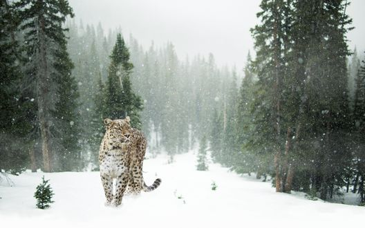 Обои Леопард под падающим снегом в лесу