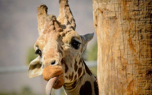 Обои Жираф с высунутым языком стоит у дерева