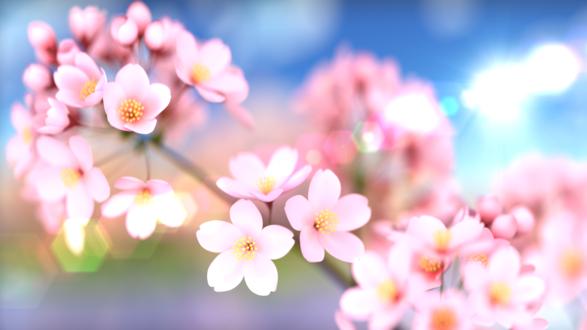 Обои Цветущая веточка сакуры, by YamadaNoKokoro