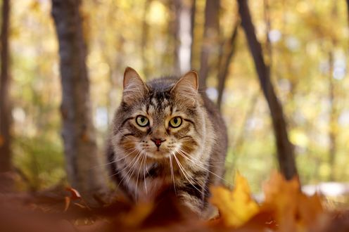 Обои Кошка породы мейн-кун идет по осенней листве