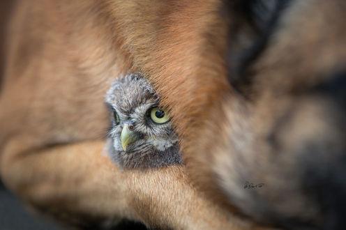 Обои Совенок в объятиях собаки, фотограф Tanja Brandt
