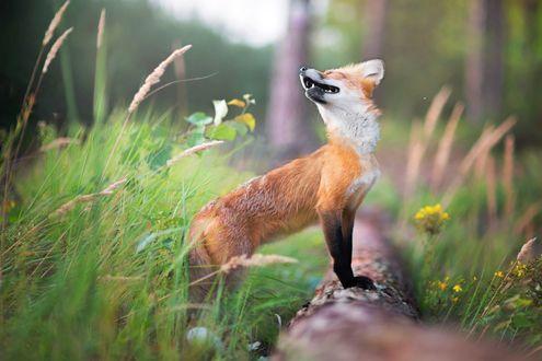 Обои Лисичка на природе, фотограф Iza Łyson