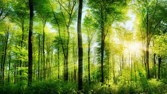 Обои Солнечные лучи пробиваются сквозь зеленый летний лес