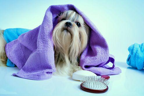 Обои Собака породы ши-тцу завернута в полотенце