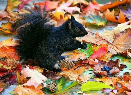Обои Черная белка сидит среди осенней листвы и шишек и держит в лапках семечку