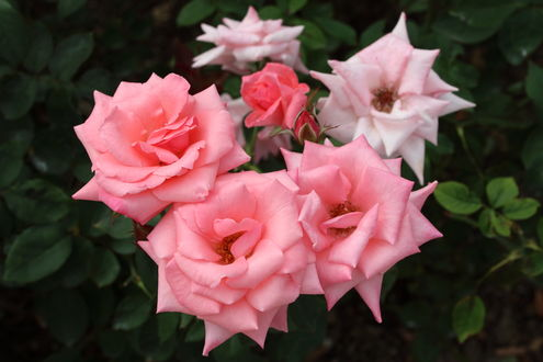 Обои Розовые розы на кусте, фотограф yopparainokobito