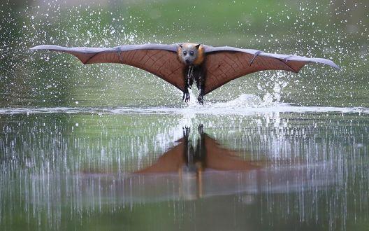 Обои Летучая мышь летит над водой