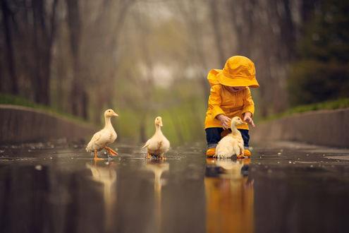 Обои Ребенок в желтом костюме знакомится с утятами на дороге