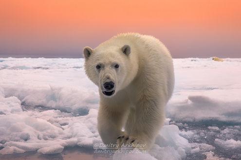 Обои Белый медведь на снегу, фотограф Дмитрий Архипов