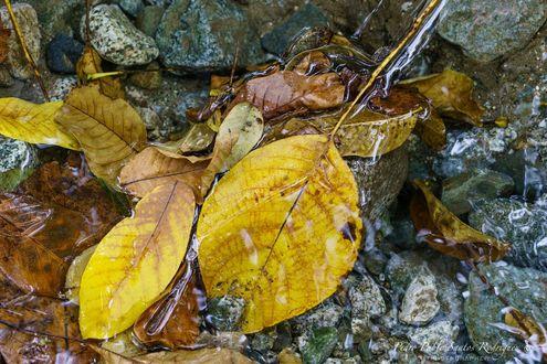 Обои Осенние листья в воде, фотограф Pedro Pablo Santos