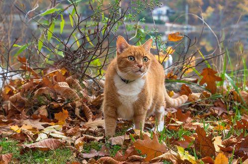 Обои Рыжий кот стоит на осенних листьях, фотограф Антонина