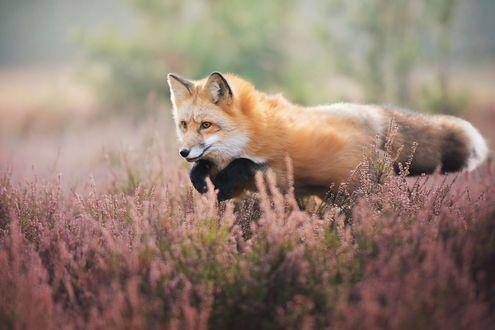 Обои Рыжая лиса в цветах, фотограф Iza Lysoń