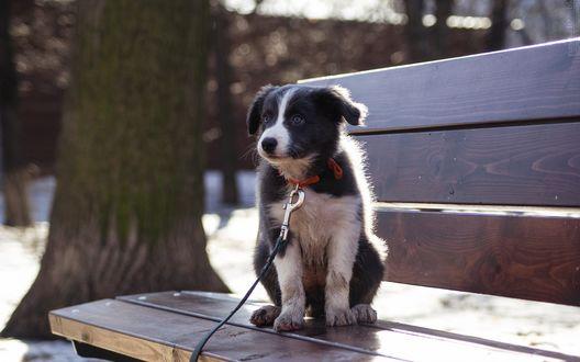 Обои Щенок породы бордер-колли в ошейнике с поводком на шее сидит на скамейке в парке