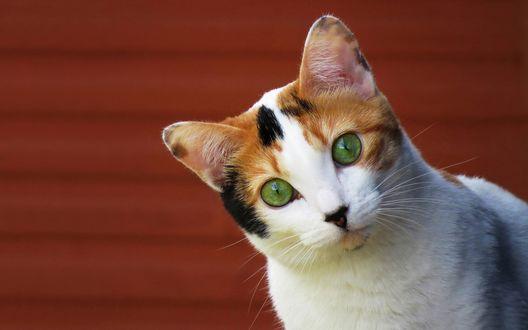 Обои Трехцветная кошечка с зелеными глазами