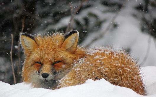 Обои Лиса лежит в снегу