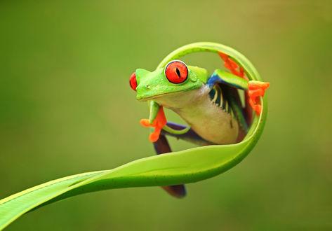 Обои Лягушка Ява на стебле растения
