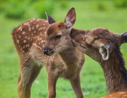 Обои Олень и маленький олененок на природе