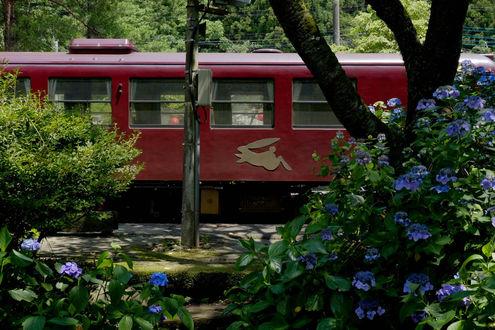 Обои Голубые гортензии / Hydrangea, Япония / Japan, железная дорога
